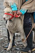 Indian & sheep<br /> Calpi animal market<br /> Parish of Riobamba, Chimborazo Province<br /> Andes<br /> ECUADOR, South America