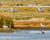 American White Pelican (Pelecanus erythrorhynchos). Arapaho National Wildlife Refuge, Colorado. Image taken with a Nikon D300 camera and 200 mm f/2 VR lens with a 2.0x TC-EII teleconverter.