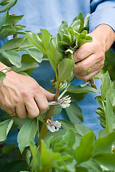 Pinching out shooting tips of broad beans with a penknife to discourage blackfly