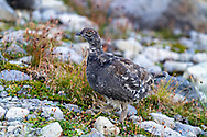 A Sooty Grouse (Dendragapus fuliginosus) walking near the trail to Table Mountain in the Mount Baker-Snoqualmie National Forest in Washington State, USA