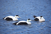 Male Eider ducks - Somateria mollissima - on lake at Slimbridge Wildfowl and Wetlands Centre, England, UK