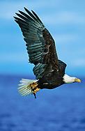 Bald eagle in flight over ocean with fish it has just caught, Alaska, © David A. Ponton