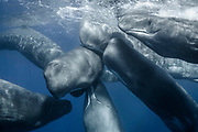 Amazing moment photographer captures Sperm whales socializing.<br />
