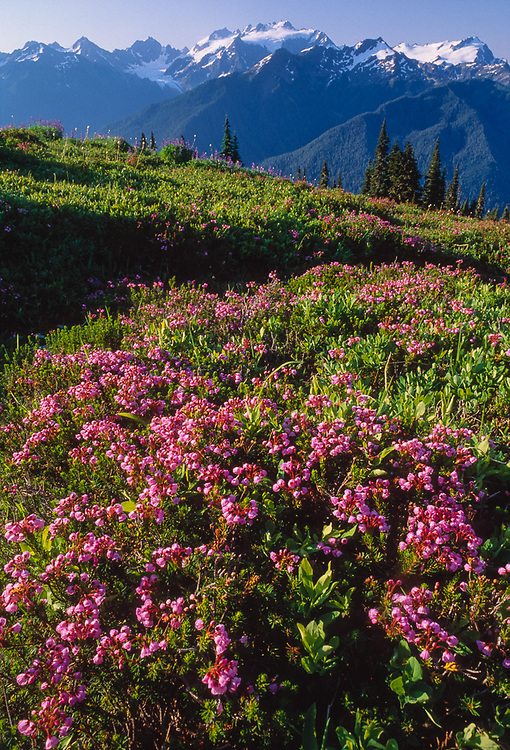 View from High Divide, morning light, heather and Mount Olympus, Olympic National Park, Washington, USA