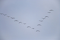 V-formation of Snow Goose (Chen caerulescens)  at Fir Island, Skagit River delta, Puget Sound, Washington, USA
