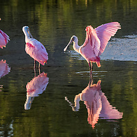 Three beautifully pink roseate spoonbills line up together at sunset, in the still waters of the JN Ding Darling National Wildlife Refuge lagoon. Sanibel Island, off of Fort Myers, Florida.