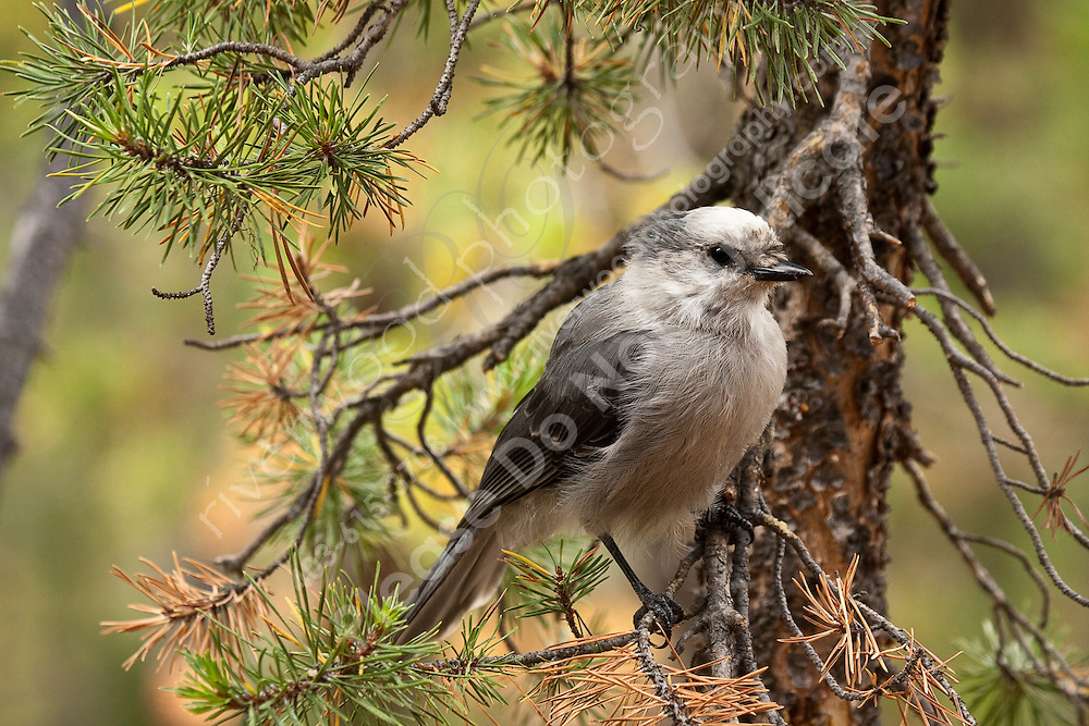 We stopped for lunch at a picnic site on the South Rim trail and were almost immediately spotted by several of these curious Jays.  They definitely have no fear of people...<br /> <br /> ©2009, Sean Phillips<br /> <br /> http://www.Sean-Phillips.com