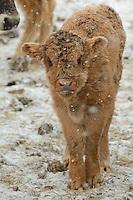 Tauros, Bos taurus, Tauros/Aurochs breeding site run by The Taurus Foundation, Keent Nature Reserve, The Netherlands
