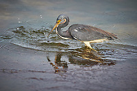 Tricolored Heron fishing. Biolab Road, Merritt Island National Wildlife Refuge. Image taken with a Nikon D4 camera and 600 mm f/4 VR lens (ISO 640, 600 mm, f/5.6, 1/1250 sec).