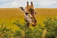 Giraffes, Murchison Falls National Park, Uganda.