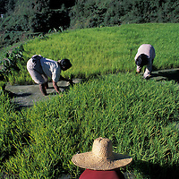 Philippines, (MR) Women work in rice paddies transplanting rice seedlings in the Banaue terraces of Luzon Island