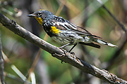 Yellow rumped warbler (Audubon's), Setophaga coronata, Sandia Mountains, New. Mexico
