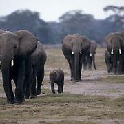 African Elephant, (Loxodonta africana) Herd. Masai mara. Kenya, Africa.