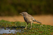 The Arabian babbler (Argya squamiceps) is a passerine bird. It is a communally nesting resident bird of arid scrub in the Middle East which lives together in relatively stable groups with strict orders of rank. Photographed in Israel in May