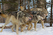 A pack of four gray wolves (Canis lupus) with bloody muzzles run in winter habitat. Captive pack.