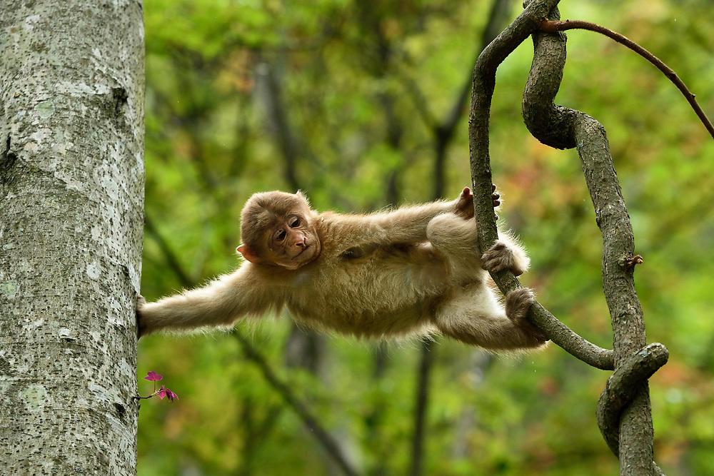 Young tibetan Macaque, Macaca thibetana, in Tangjiahe Nature Reserve, Sichuan Province; China