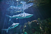 A pair of captive sandbar sharks (Carcharhinus plumbeus) swim in the Point Defiance Aquarium in Tacoma, Washington. Sandbar sharks are typically found in shallow waters, less than 200 feet deep, in the tropical and subtropical Pacific and Atlantic oceans, Caribbean, Gulf of Mexico and Mediterranean Sea.
