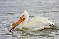 Carseland Weir is home to dozens of these beautiful birds every spring and summer.  This was my second visit of the season, but it was the first time that I found any Pelicans.  They were initially wary of me, but I sat on the rocks and waited and they eventually floated close enough for me to make some great images...©2009, Sean Phillips.http://www.Sean-Phillips.com