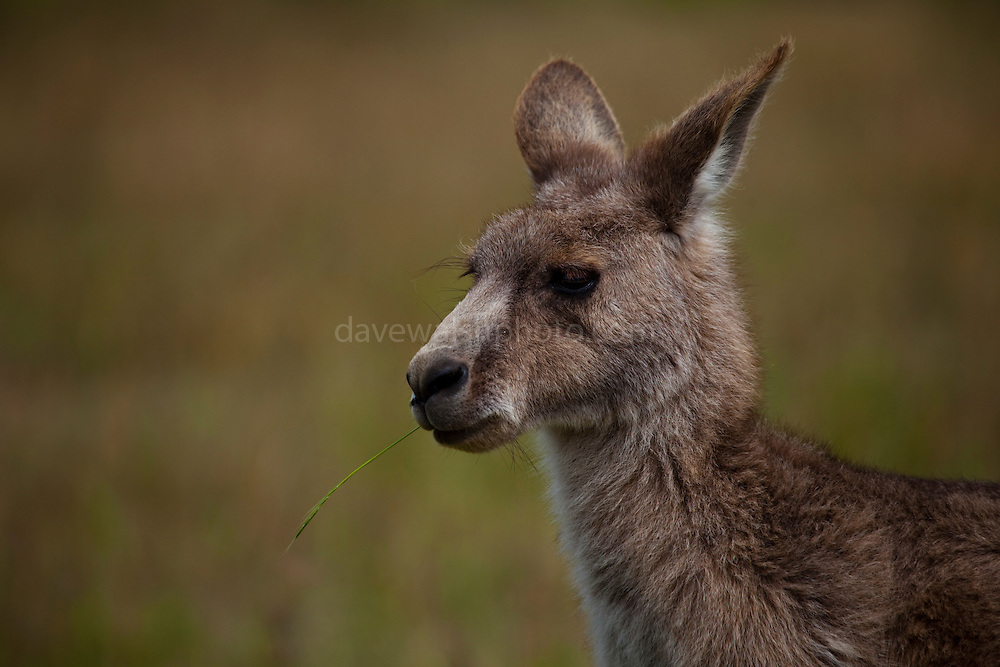 Eastern Grey Kangaroo eating a piece of grass, at Tom Groggins, Mount Kosciuszko National Park