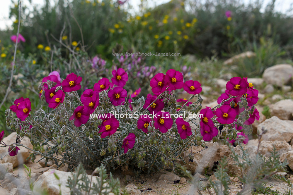 Helianthemum [here Helianthemum vesicarium]  known as rock rose, sunrose, rushrose, or frostweed, a flowering plant in the family Cistaceae. They are widely distributed throughout the Northern Hemisphere, especially in the Mediterranean. Photographed at the Lotz Cisterns in The Negev Desert Israel in March