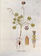 Woodsorrel (Oxalis dentata). Illustration from 'Oxalis Monographia iconibus illustrata' by Nikolaus Joseph Jacquin (1797-1798). published 1794