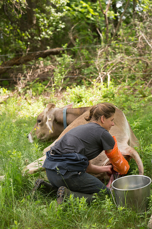 Female farmer assisting a Brown Swiss Cow in labor