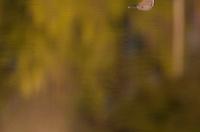 Reflection of Red-throated diver (Gavia stellata) adult in breeding plumage, Bergslagen, Sweden.