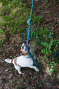 Pet Terrier dog plays harmlessly at biting frayed rope in a home garden.