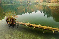 Sunken trunk with vegetation in Batinovac lake, Upper Lakes, Plitvice National Park, Croatia