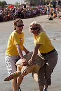 A rehabilitated loggerhead sea turtle released back to the ocean by the Turtle Rescue Team of the South Carolina Aquarium on the Isle of Palms, SC.