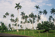 Field of Cuban Royal Palms Cuba Photography
