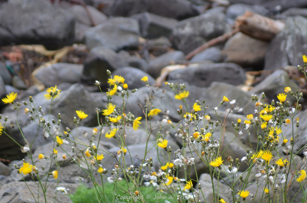 Flowers popping up along the beach at the Giant's Causeway, County Antrim, Northern Ireland.