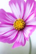 Cosmos bipinnatus 'Candy Stripe' - garden cosmos