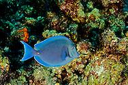Blue Tang, Acanthurus coeruleus, Bloch & Schneider, 1801, Grand Cayman