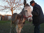 """Donkey Duo Saved From Being Turned Into Sausages On Christmas<br /> <br /> When most people think of donkeys they immediately think of Donkey from the Shrek movies, an association which makes one smile because of the upbeat and optimistic character.<br /> The reality is unfortunately very different, as these animals are usually used only for one thing: carrying heavy loads. They live a sad life filled with hard work, whipping and other forms of abuse.<br /> Unfortunately, in some parts of the world, they are also sadly turned into meat for sausages – usually when they are no longer able to carry heavy loads. Bulgaria is one of the countries where this happens, and this Christmas, two donkeys were miraculously saved from being brutally slaughtered for their meat. They were saved thanks to a sanctuary for abused farm animals where two people work tirelessly to save animals from abuse and violent death and give the care and love they deserve.<br /> <br /> Photo shows:This is Katia The Donkey,She appeared in the ad that announced a """"limping donkey for sale, perfect for slaughter""""<br /> Katia was saved by goodhearted people who """"bought"""" her with the intention to take her to the sanctuary<br /> ©Exclusivepix Media"""
