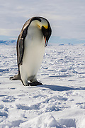 An Emperor Penguin (Aptenodytes forsteri) starting to call, Weddell Sea