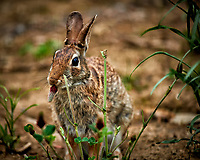 Rabbit nibbling on a Italian clover flower. Backyard spring in New Jersey. Image taken with a Nikon D3x camera and 600 mm f/4 VR lens (ISO 800, 600 mm, f/4, 1/500 sec).
