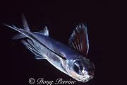 fourwing flyingfish, Hirundichthys affinis, Bahamas ( Western Atlantic Ocean )