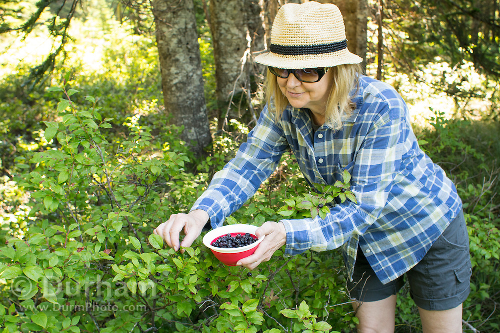 Cynthia Classen (released) picks wild huckleberries on the slopes of Mount Adams in the Gifford-Pinchot National Forest, Washington.