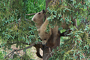 Two brown bear cubs find safety high in a tree.
