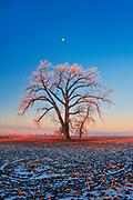 Cottonwood at sunrise. Grande Pointe. Manitoba. Canada<br />Grande Pointe<br />Manitoba<br />Canada