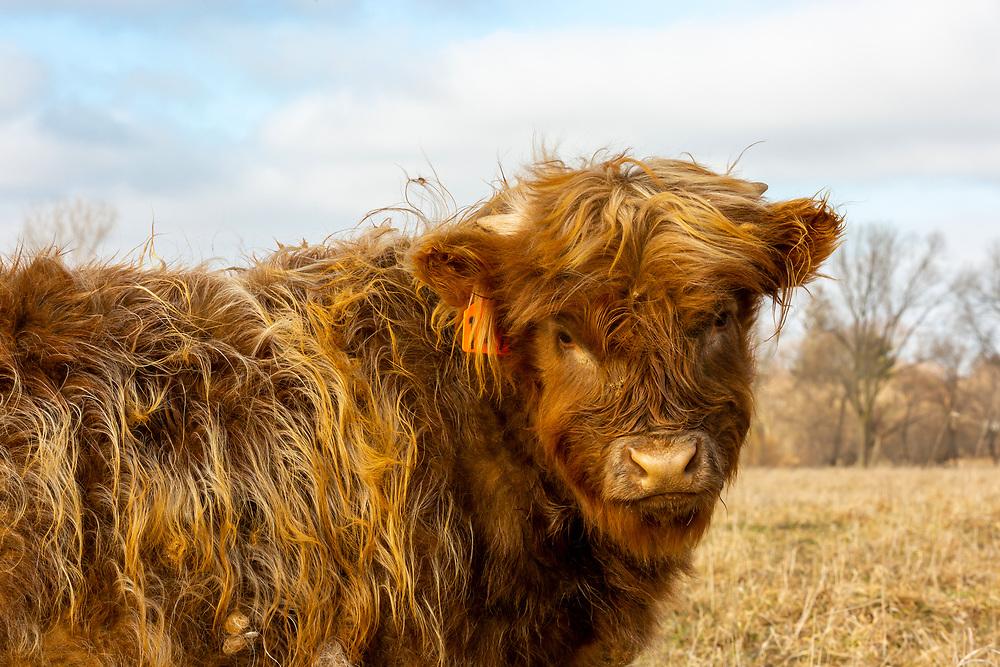 Scottish Highland calf on Fountain Prairie Farm, Fall River, WI. Photo taken December 27, 2019.