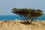Umbrella Thorn Acacia (Vachellia tortilis). A medium to large canoped tree native to arid areas in the savannahs of Africa and the Middle East. Photographed in Israel Dead Sea is in the background
