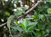 Green Basilisk (Basiliscus plumifrons) lizard perched in a tree in Costa Rica