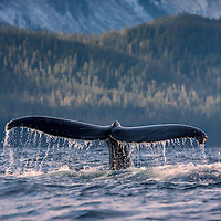 A Humpback whale fluke in the waters of Seymour Canal