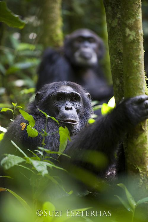 Chimpanzee<br /> Pan troglodytes<br /> Tropical forest, Western Uganda