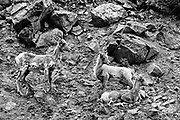 These young mountain goats (Oreamnos americanus), also known as the Rocky Mountain Goats, are resting on their way up a steep slope in the Colorado Rocky Mountains.  Mountain goats are sure-footed cliff climbers that are endemic to subalpine to alpine areas of North America.  They are the largest mammal in these high-altitude environments often exceeding 3,900 meters (13,000 ft). In summer, they generally stay above tree line, but occasionally migrate to lower elevations in the winter. Despite its common name, they are not a member of Capra, the genus that includes all other goats, but rather related to antelopes, gazelles, and cattle. <br /> <br /> Mountain goats are about 1 m (3.3 ft) tall at the shoulder and males are larger than females. Mountain goats can weigh between 45 and 140 kg (99 and 309 lb) with a length of 10–179 cm (4 to nearly 6 ft.).  Both male and female mountain goats grow black horns reaching 15–28 cm (5.9–11.0 in) in length.  After they are about 22 months old, the horns are visible and it is possible to tell the age of a mountain goat by counting the number of rings on its horns.  Two of the individuals in this image are too young to have grown horns yet.<br /> <br /> There are an estimated 100,000 Mountain Goats in North America. They are protected from the elements by long woolly white double coats that they shed in spring. Their coats are highly specialized consisting of fine, dense wool undercoats covered by an outer layer of longer, hollow hairs. Their coats help mountain goats survive winter temperatures as low as −50 °F (−46 °C) and winds of up to 160 kilometers per hour (99 mph).  The average lifespan of a mountain goat is 9 to 12 years.<br /> <br /> This is a single color image that has been converted digitally to black and white.