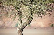 Close-up of a Sahara acacia tree (Acacia raddiana) in the Sahara desert.