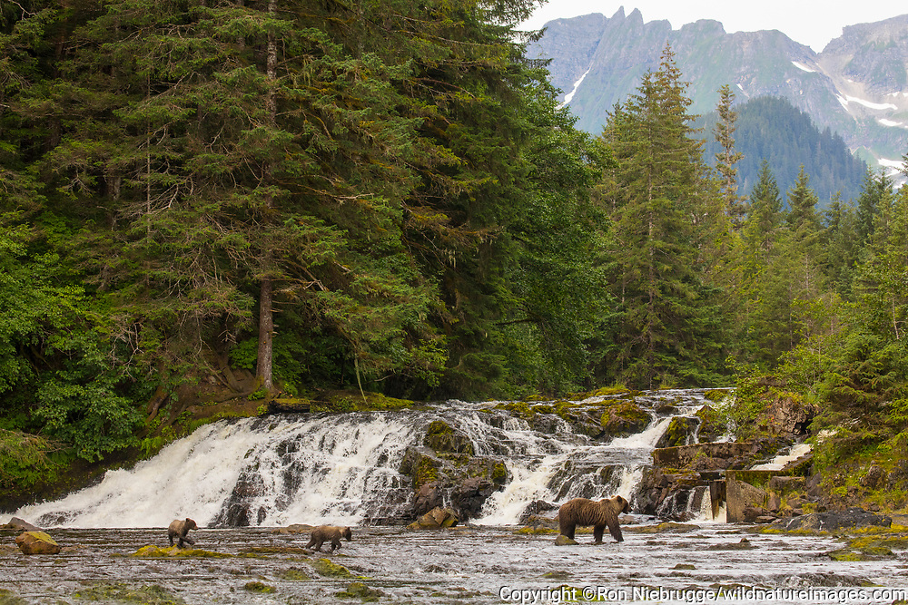Grizzly Bear sow with cubs fishing, Tongass National Forest, Alaska