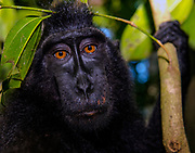 Portrait of Crested Black Macaques (Macaca nigra)  in Tangkoko Nature Reserve, northern Sulawesi, Indonesia.